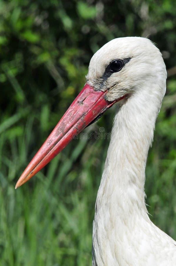 Ooievaar vit stork, Ciconiaciconia arkivfoton