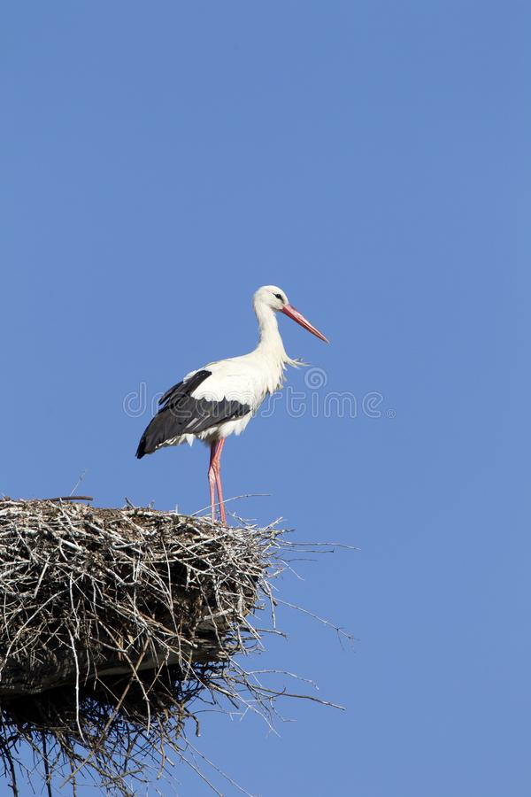 Ooievaar, White Stork, Ciconia ciconia royalty free stock images
