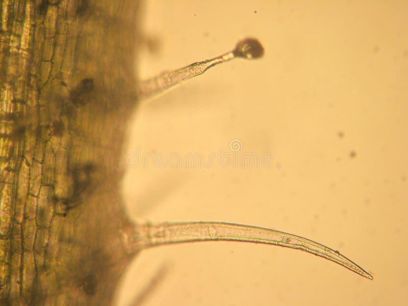 Ooievaarsbek zonale - de optische microscopie royalty-vrije stock afbeeldingen
