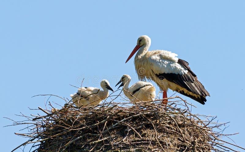Ooievaarsfamilie stock fotografie