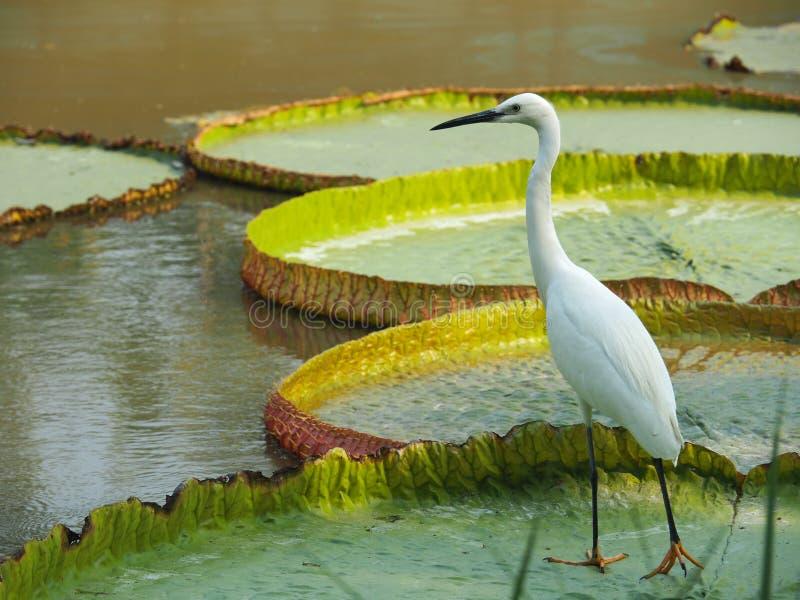 Ooievaarsvogel die zich op Reuzelotus leaf bevinden royalty-vrije stock fotografie