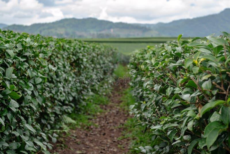 Oolong茶增长的农厂种植园 从路的第一人景色在领域行之间 叶子在小山的前景焦点 图库摄影