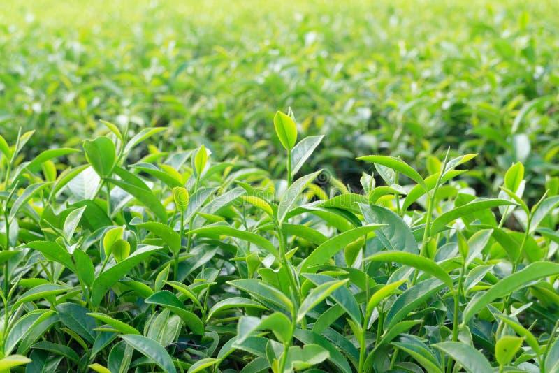 Oolong herbaciani liście, Dwa liścia i pączek, zdjęcia royalty free