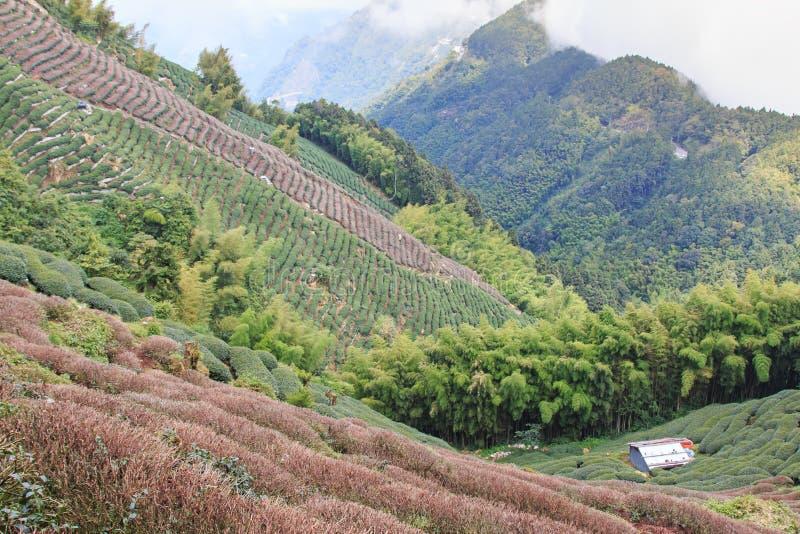 Oolong Tea plantation in Taiwan royalty free stock image