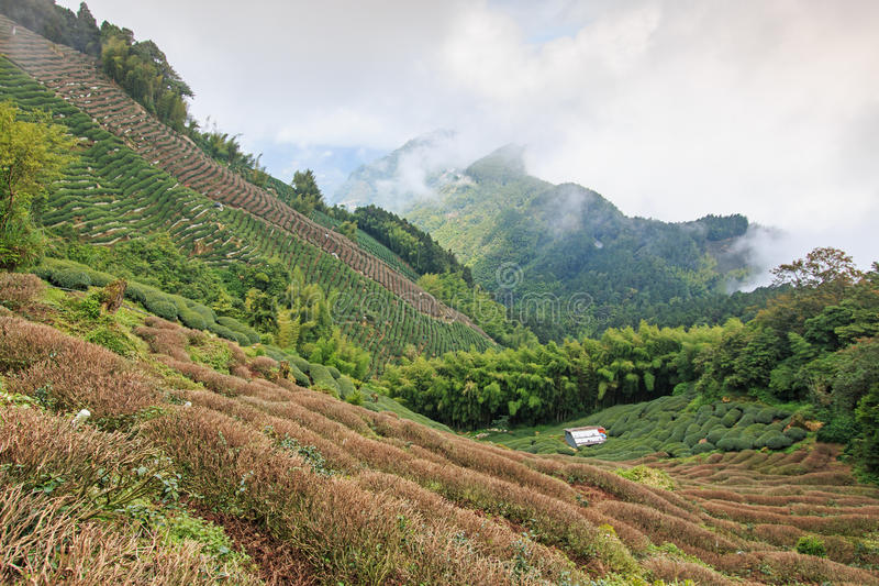 Oolong Tea plantation in Taiwan stock photos