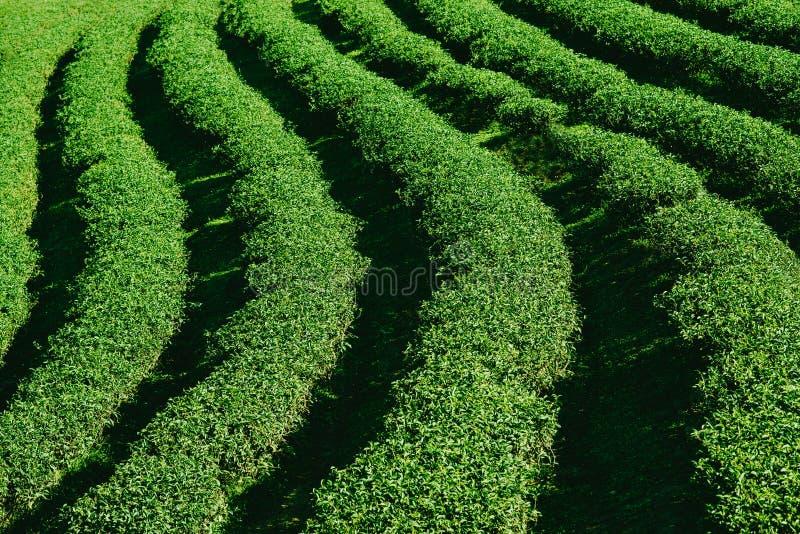 Oolong tea plantation stock photography