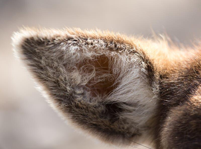 Oor van een hert in aard stock fotografie