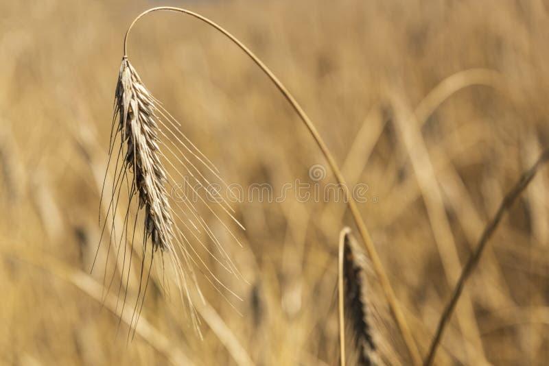 Oor van tarwe dichte omhooggaand op een gebied royalty-vrije stock afbeelding