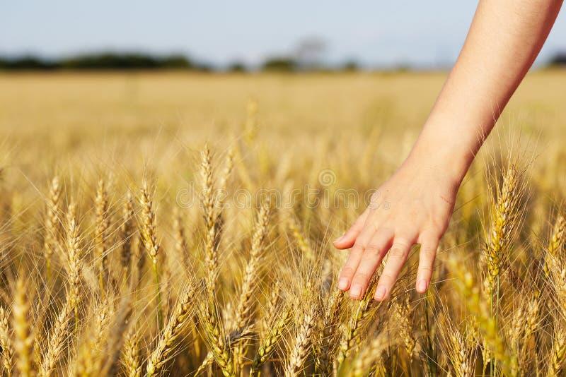 Oor van tarwe en hand stock afbeeldingen