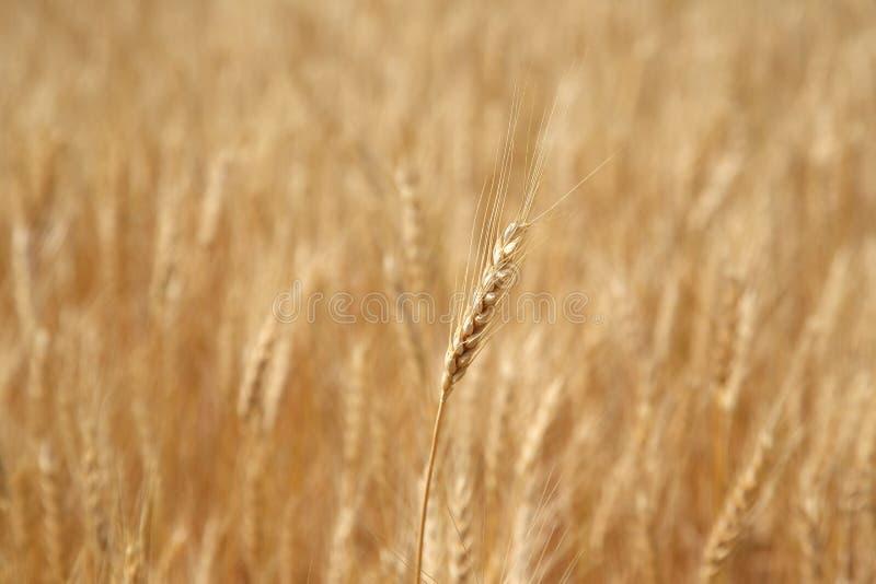 Oor van tarwe op een tarwegebied royalty-vrije stock afbeeldingen