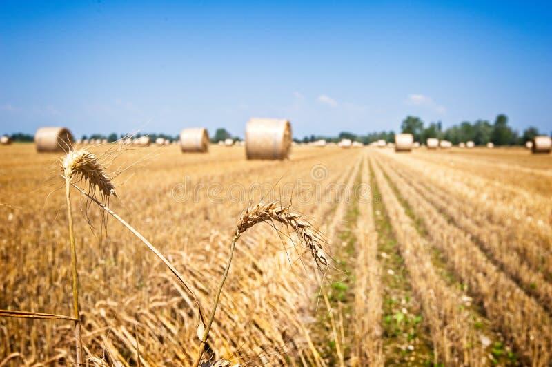 Oortarwe op gebied na oogst met strobalen stock fotografie