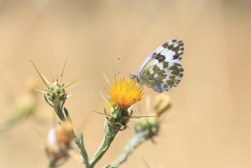 Oostelijk Badwit, Pontia-edusa, vlinder stock afbeelding