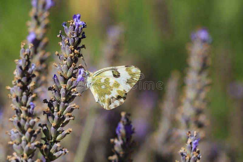 Oostelijk Badwit, Pontia-edusa, vlinder het voeden op Lavendel royalty-vrije stock afbeeldingen