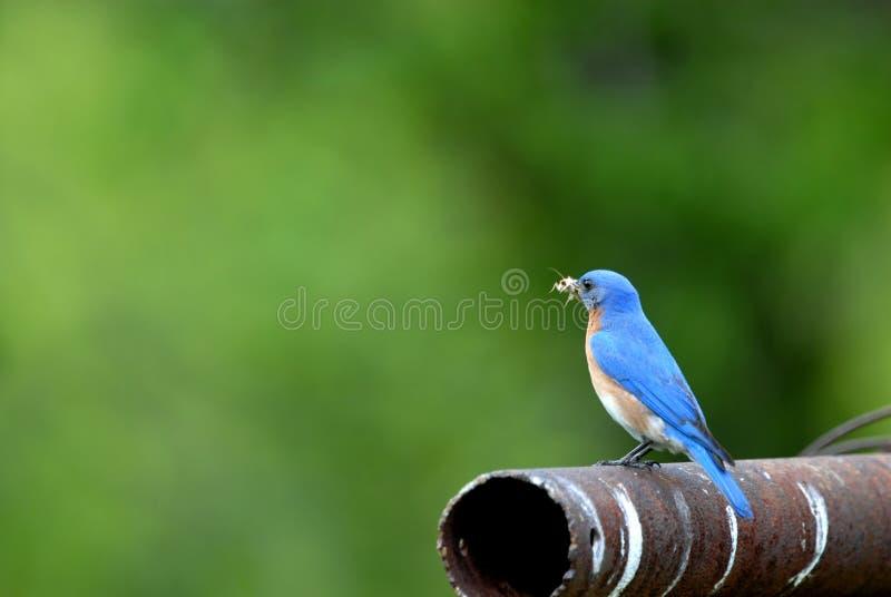 Oostelijk Blauw vogelmannetje royalty-vrije stock foto's
