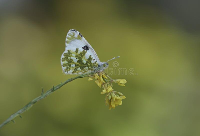 Oostelijk Gevlekt Wit stock fotografie