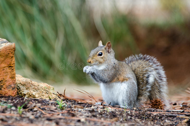 Oostelijk Gray Squirrel, Athene, Georgië stock foto's