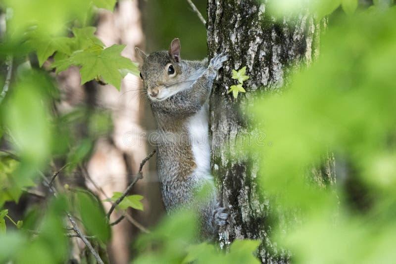 Oostelijk Gray Squirrel op een Sweetgum-boom in Georgië stock afbeeldingen