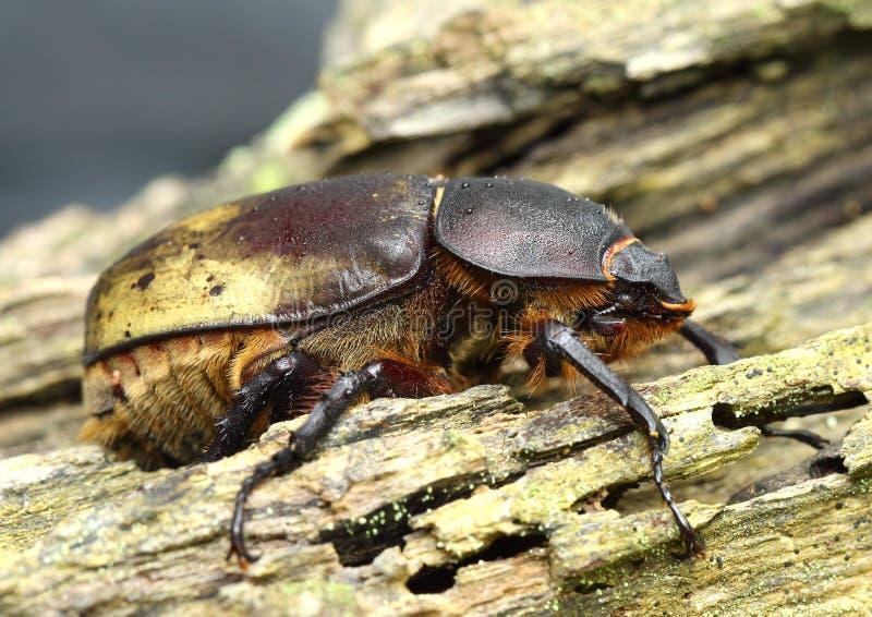 Oostelijk Hercules Beetle stock afbeelding