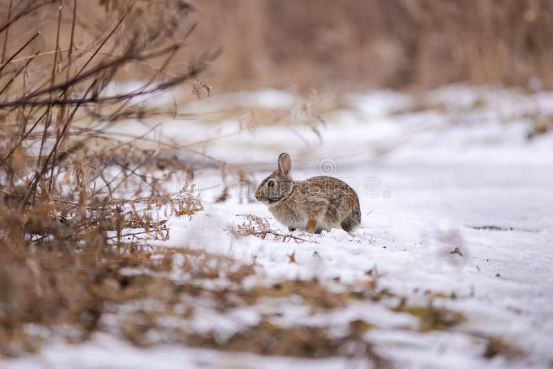 Oostelijk Katoenstaartkonijnkonijn in sneeuw royalty-vrije stock afbeelding