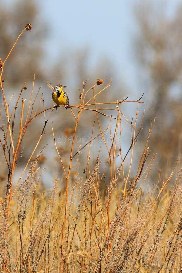Oostelijk Meadowlark-rechterkantprofiel royalty-vrije stock afbeeldingen