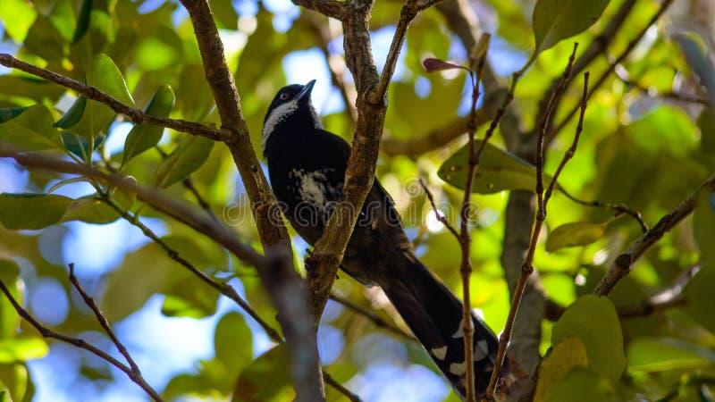 Oostelijk ransel vogel royalty-vrije stock foto