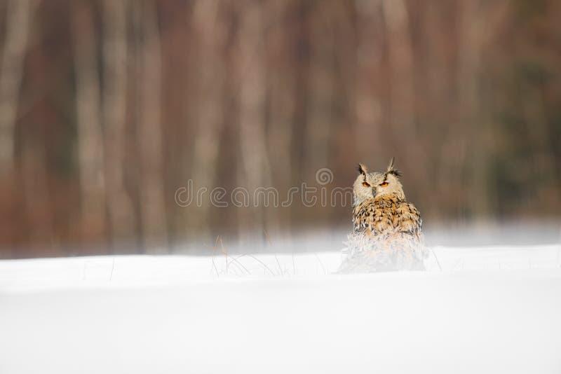 Oostelijk Siberisch Eagle Owl die in de winter vliegen Mooie uil van Rusland die over sneeuwgebied vliegen De winterscène met maj stock foto