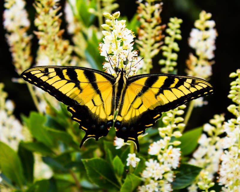 Oostelijk Tiger Swallowtail Butterfly stock fotografie