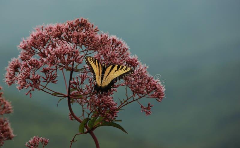 Oostelijk Tiger Swallowtail Butterfly royalty-vrije stock fotografie