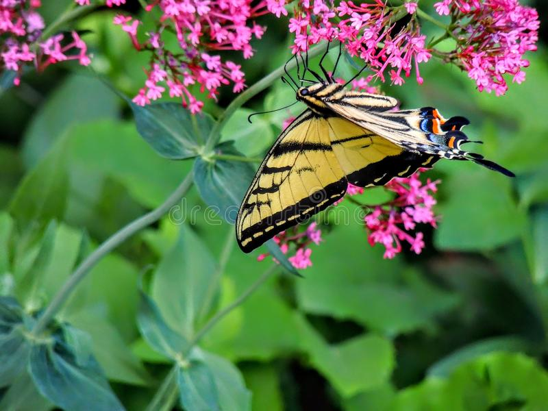 Oostelijk Tiger Swallowtail Butterfly royalty-vrije stock afbeeldingen
