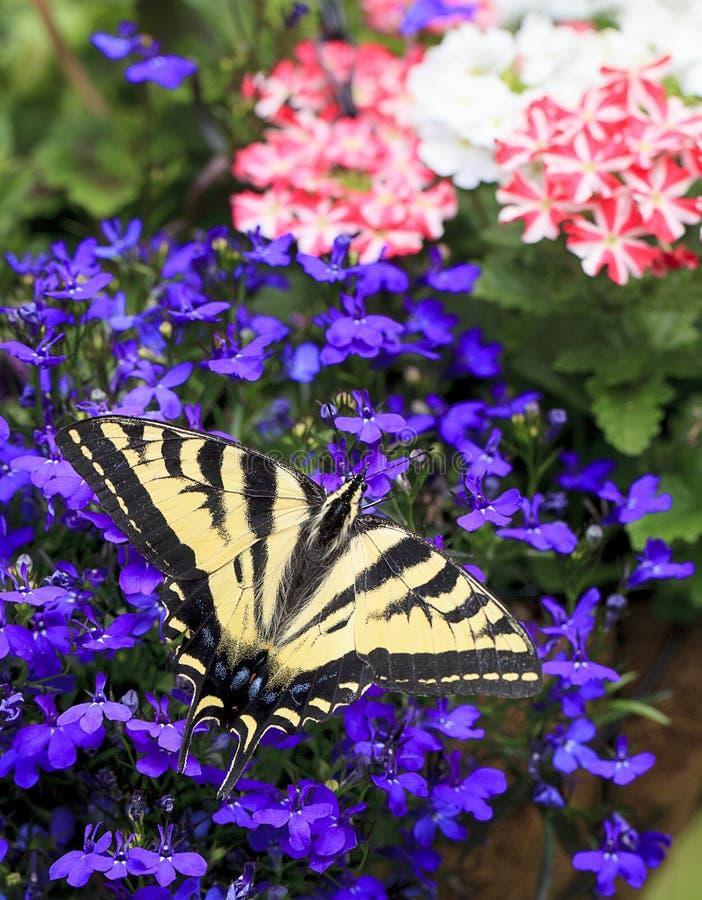 Oostelijk Tiger Swallowtail Butterfly Papilio Glaucas op Lobelia royalty-vrije stock afbeelding