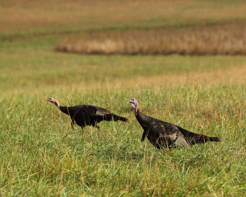 Oostelijk Wild Turkije stock fotografie