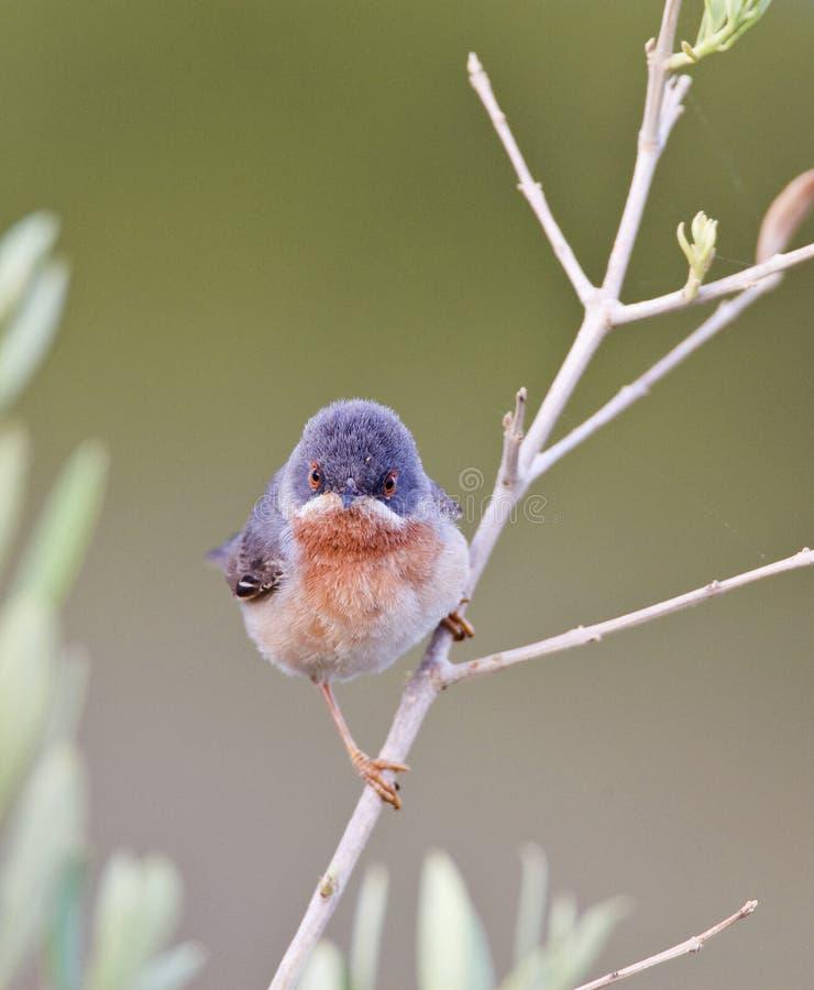 Oostelijke Baardgrasmus, Eastern Subalpine Warbler, Sylvia cantillans albistriata stock photo