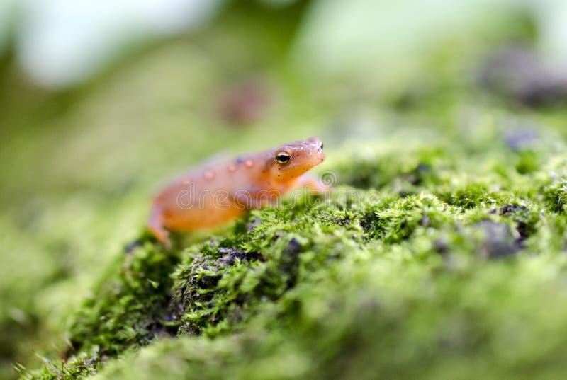 Oostelijke Bevlekte Newt, Rode eftsalamander op groen mos stock fotografie
