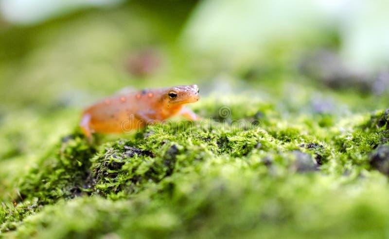 Oostelijke Bevlekte Newt, Rode eftsalamander op groen mos stock foto