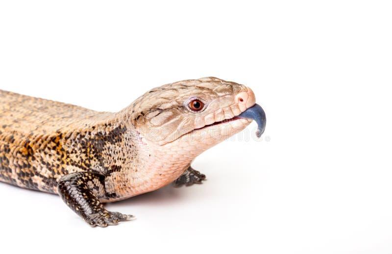 Oostelijke blauw-tongued skink op witte achtergrond stock foto
