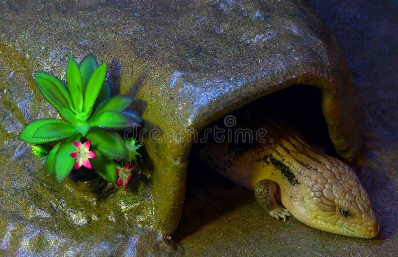 Oostelijke blauwe tongued skinkhagedis stock fotografie