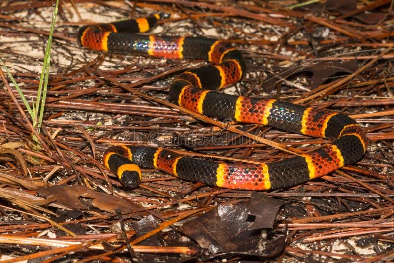 Oostelijke Coral Snake stock fotografie