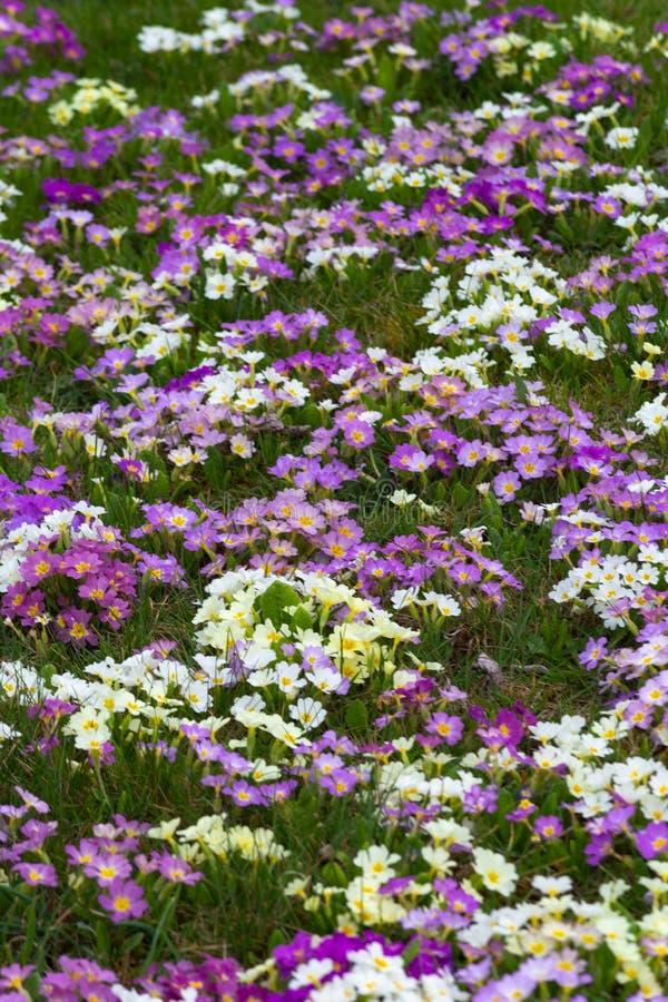 Download Oostelijke de lentebloemen stock afbeelding. Afbeelding bestaande uit achtergrond - 114225007