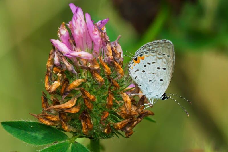 Oostelijke De steel verwijderde van Blauwe vlinder stock afbeeldingen