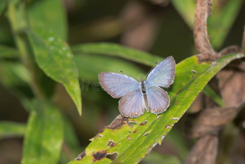 Oostelijke De steel verwijderde van Blauwe vlinder royalty-vrije stock fotografie