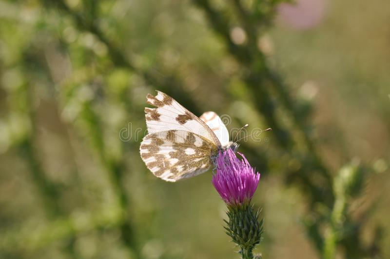 Oostelijke Gevlekte Vlinder royalty-vrije stock afbeeldingen