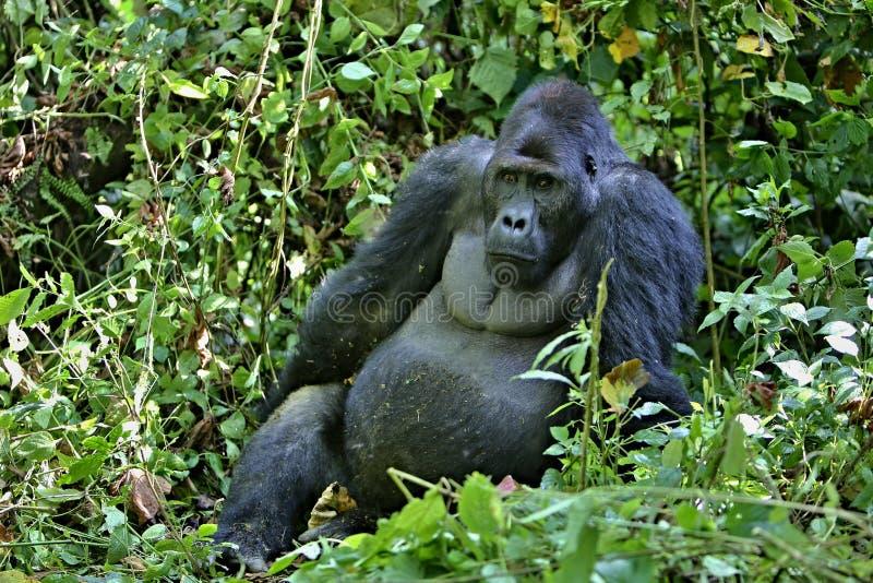 Oostelijke gorilla in de schoonheid van Afrikaanse wildernis royalty-vrije stock foto