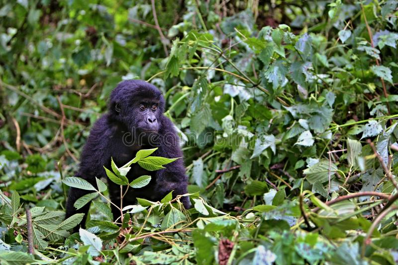Oostelijke gorilla in de schoonheid van Afrikaanse wildernis royalty-vrije stock foto's