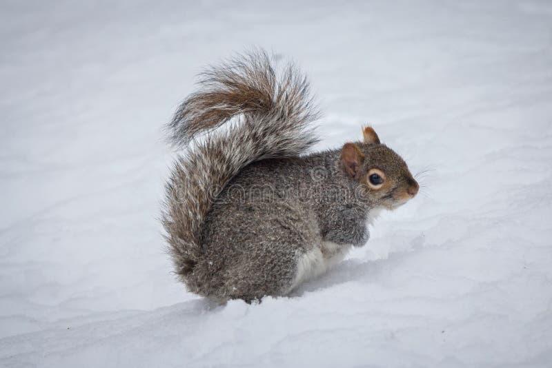 Oostelijke Gray Squirrel Sciurus-carolinensis in de sneeuw stock fotografie