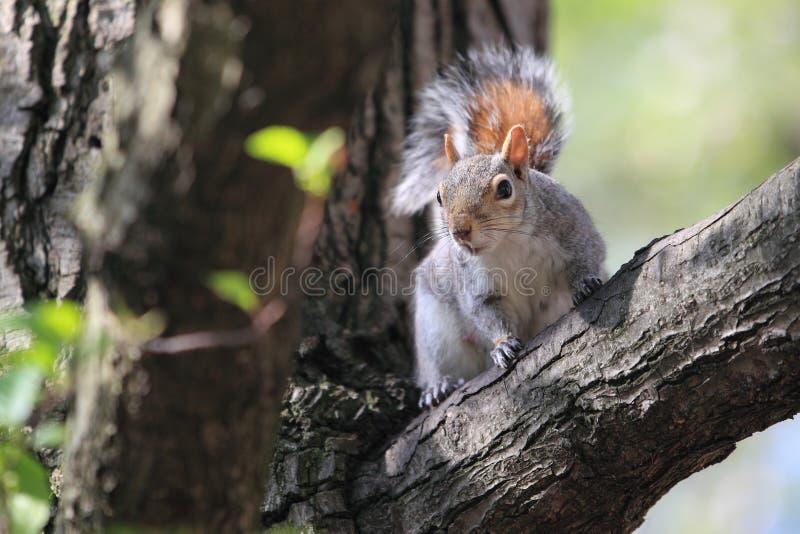 Oostelijke grijze eekhoorn stock foto's