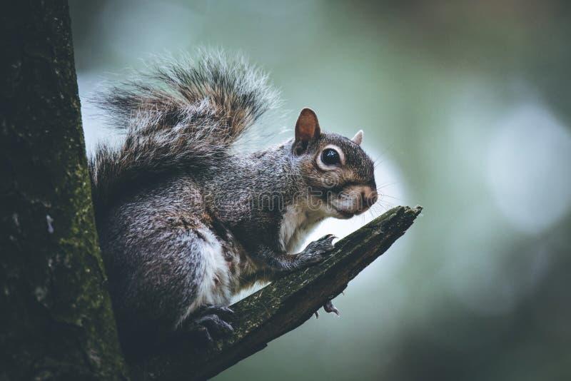 Oostelijke grijze eekhoorn op een tak van de boom stock afbeelding
