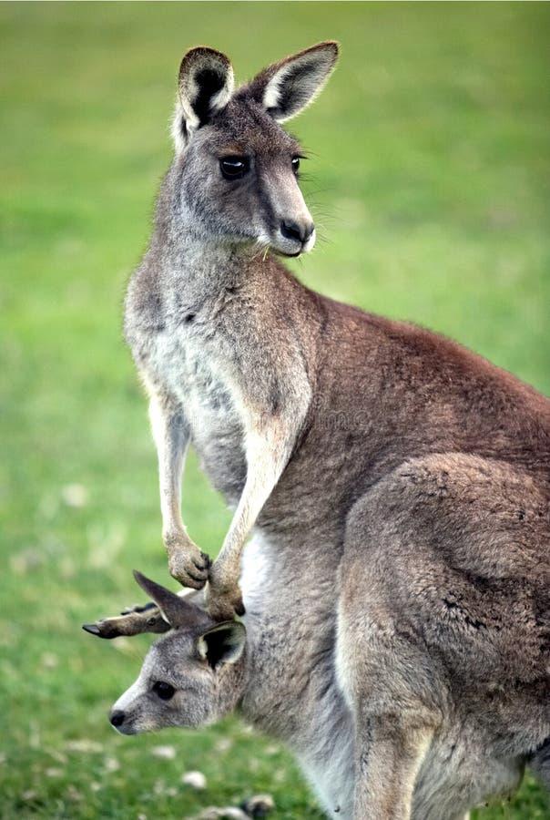 Oostelijke grijze kangoeroe royalty-vrije stock foto's
