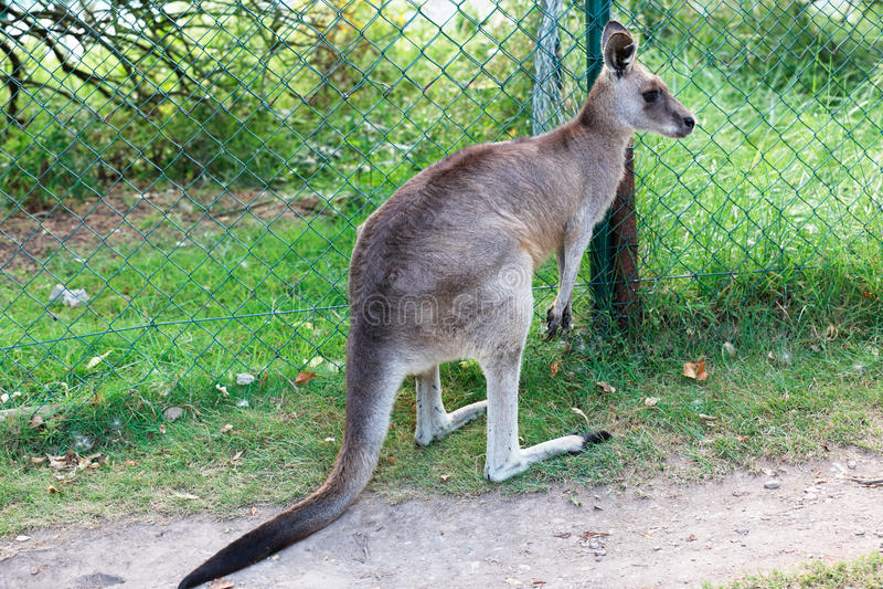 Oostelijke grijze kangoeroe stock fotografie