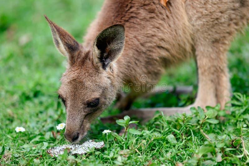 Oostelijke grijze kangoeroe royalty-vrije stock afbeelding