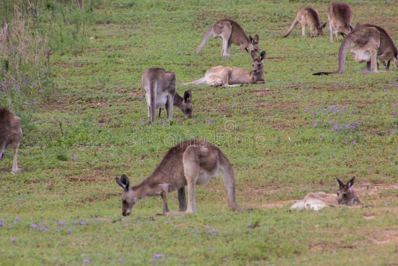 Oostelijke grijze kangoeroe stock foto's
